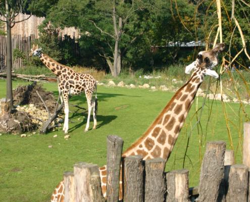 Zoo - Giraffen, Leipzig